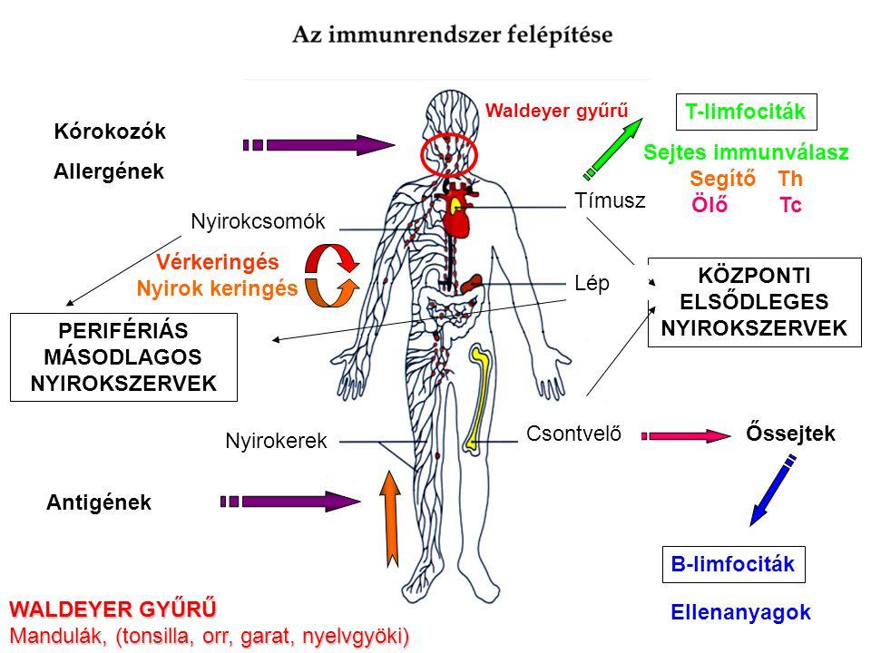 Mandulák, (tonsilla, orr, garat, nyelvgyöki) T-limfociták