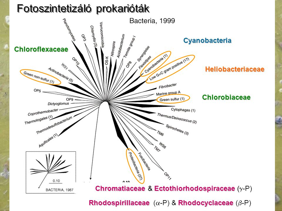 Fotoszintetizáló prokarióták
