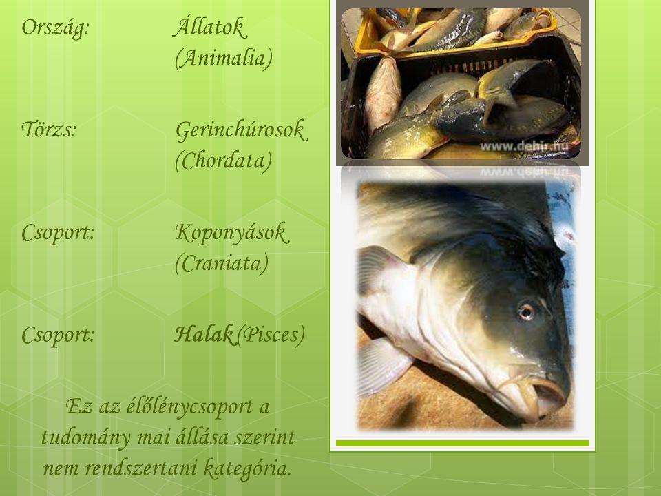 Ország: Állatok (Animalia) Törzs: Gerinchúrosok (Chordata) Csoport: Koponyások (Craniata) Halak (Pisces)