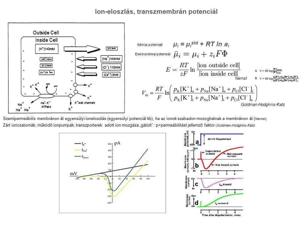 Ion-eloszlás, transzmembrán potenciál