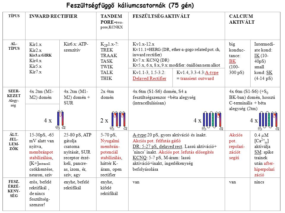 Feszültségfüggő káliumcsatornák (75 gén)