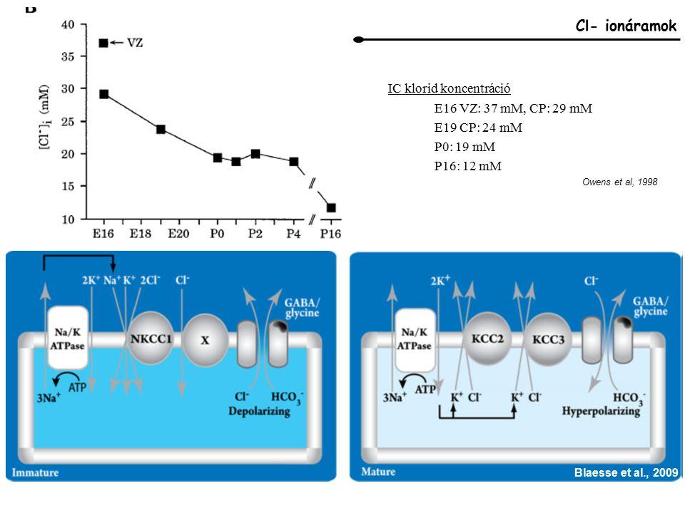 Cl- ionáramok IC klorid koncentráció E16 VZ: 37 mM, CP: 29 mM