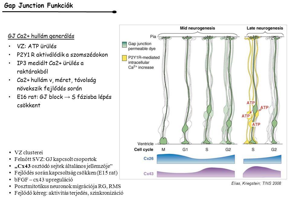 Gap Junction Funkciók GJ Ca2+ hullám generálás VZ: ATP ürülés