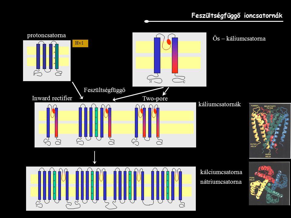 Feszültségfüggő ioncsatornák