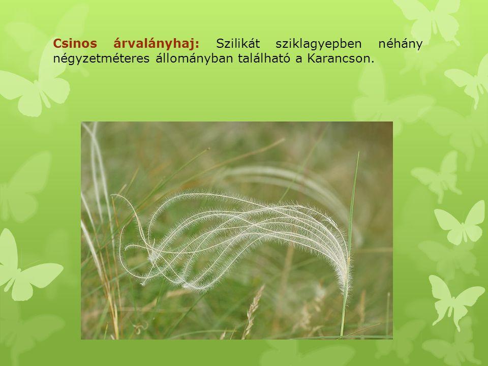Csinos árvalányhaj: Szilikát sziklagyepben néhány négyzetméteres állományban található a Karancson.