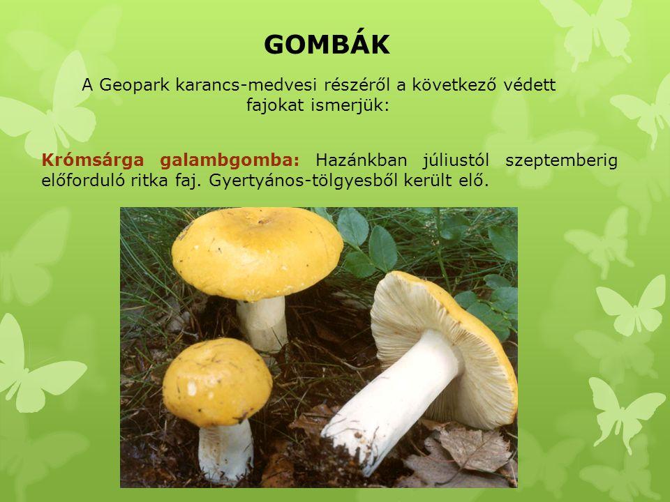 GOMBÁK A Geopark karancs-medvesi részéről a következő védett fajokat ismerjük: