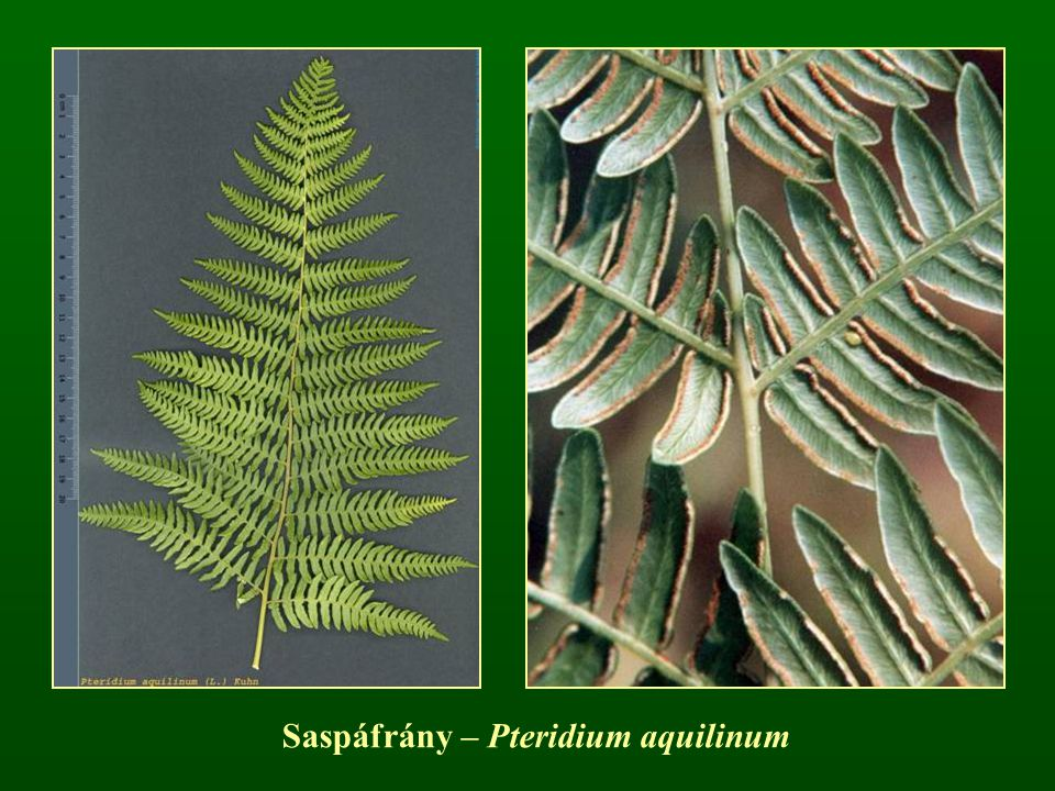 Saspáfrány – Pteridium aquilinum