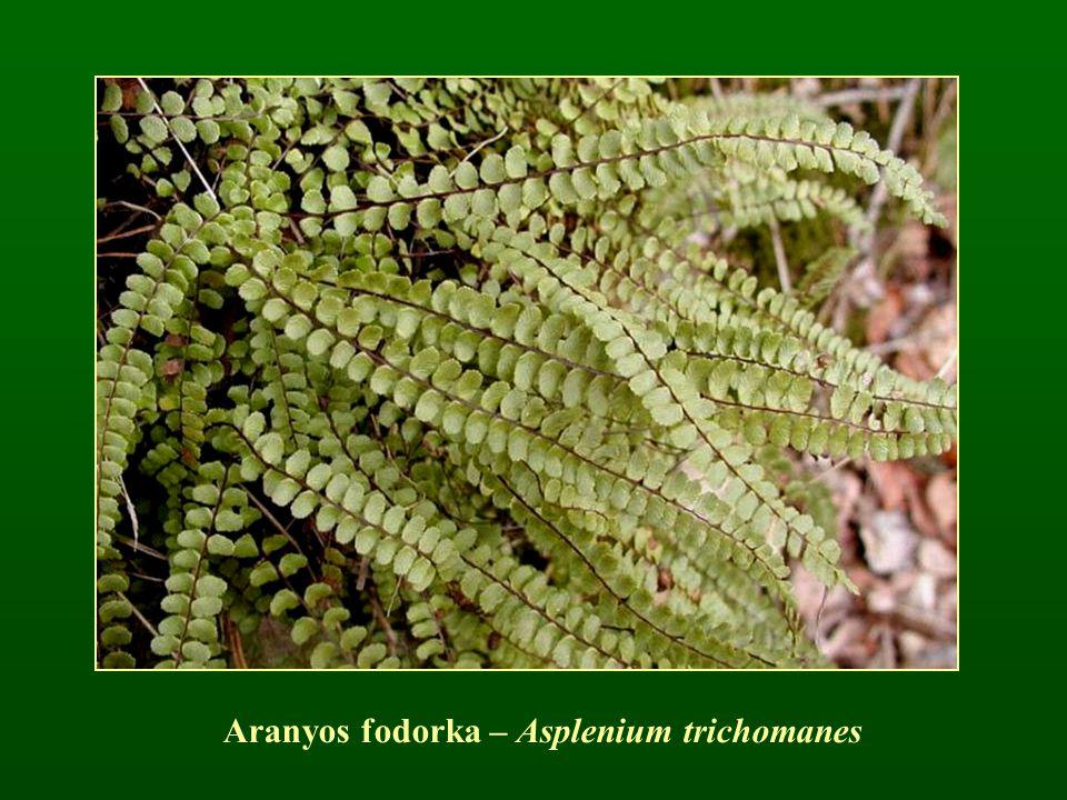 Aranyos fodorka – Asplenium trichomanes