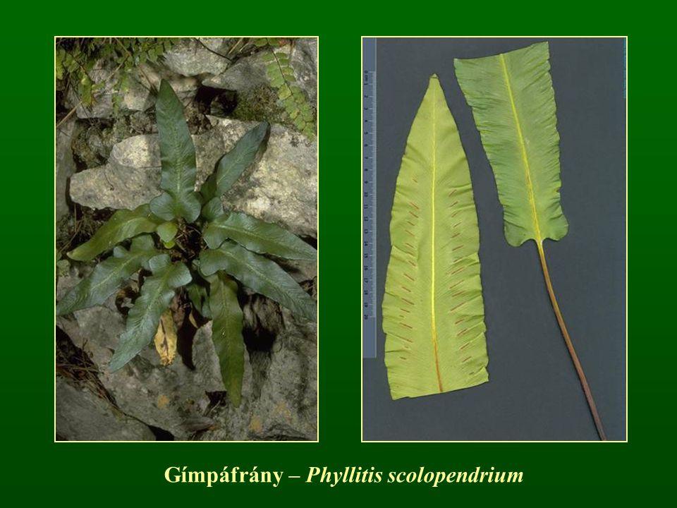 Gímpáfrány – Phyllitis scolopendrium