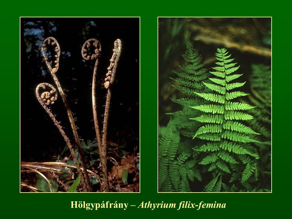 Hölgypáfrány – Athyrium filix-femina