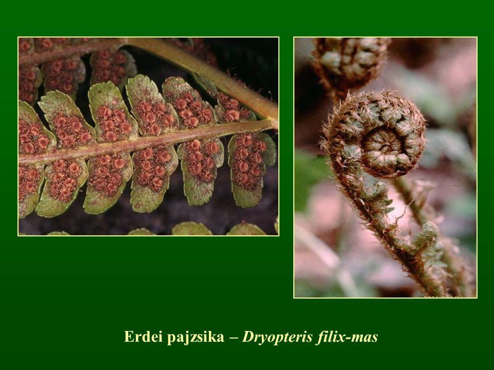 Erdei pajzsika – Dryopteris filix-mas