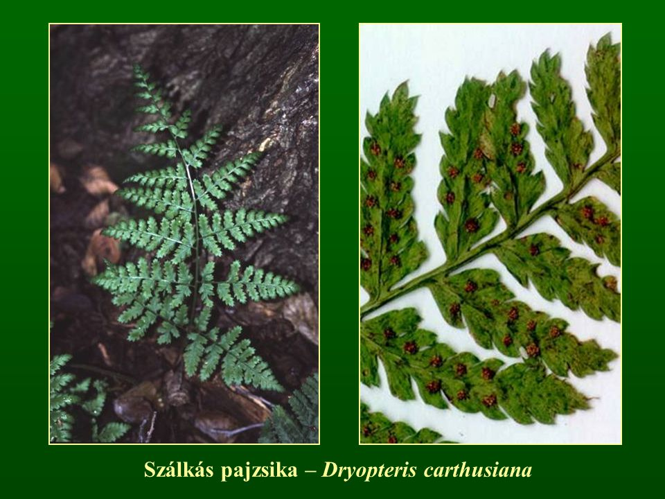Szálkás pajzsika – Dryopteris carthusiana