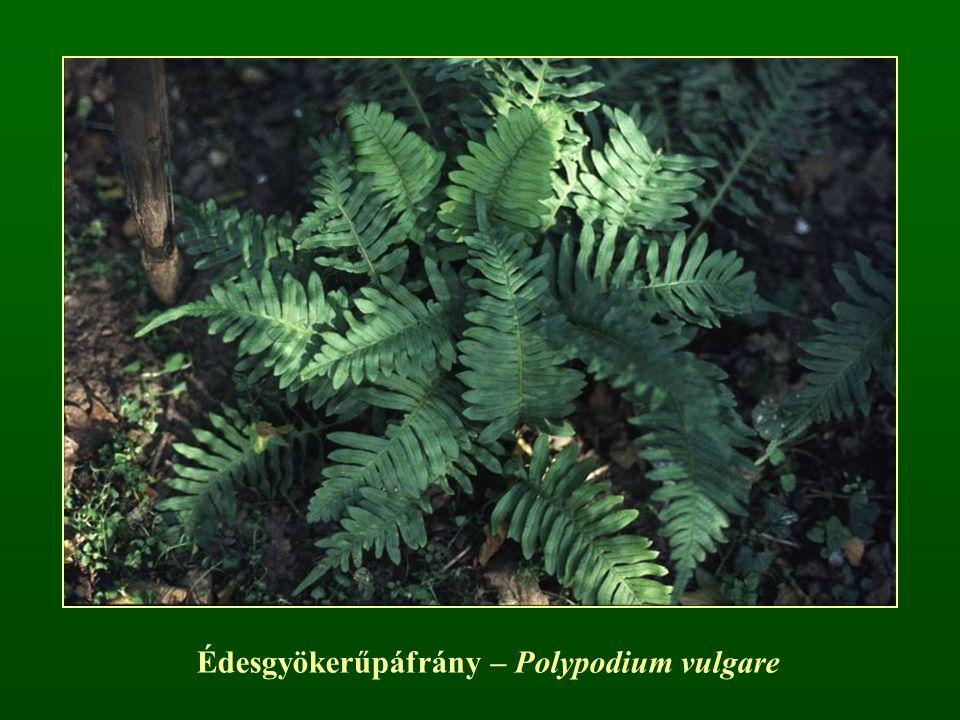 Édesgyökerűpáfrány – Polypodium vulgare