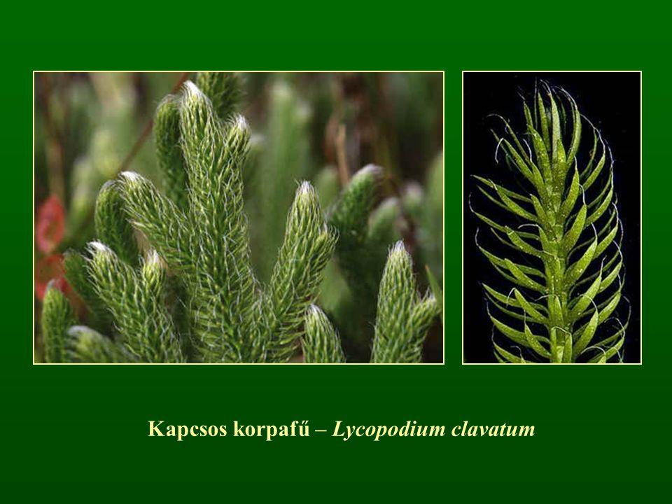 Kapcsos korpafű – Lycopodium clavatum