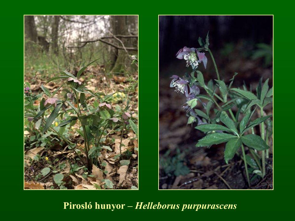 Pirosló hunyor – Helleborus purpurascens