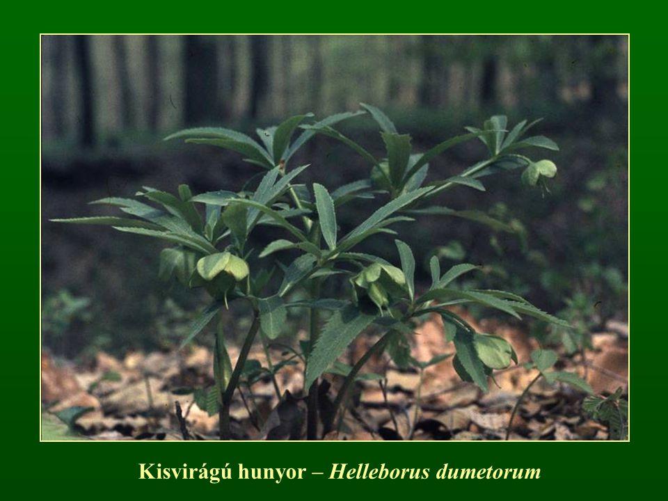 Kisvirágú hunyor – Helleborus dumetorum