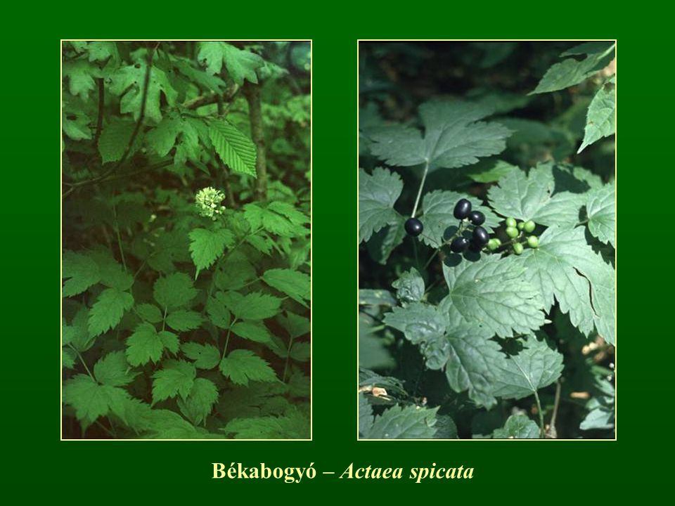 Békabogyó – Actaea spicata