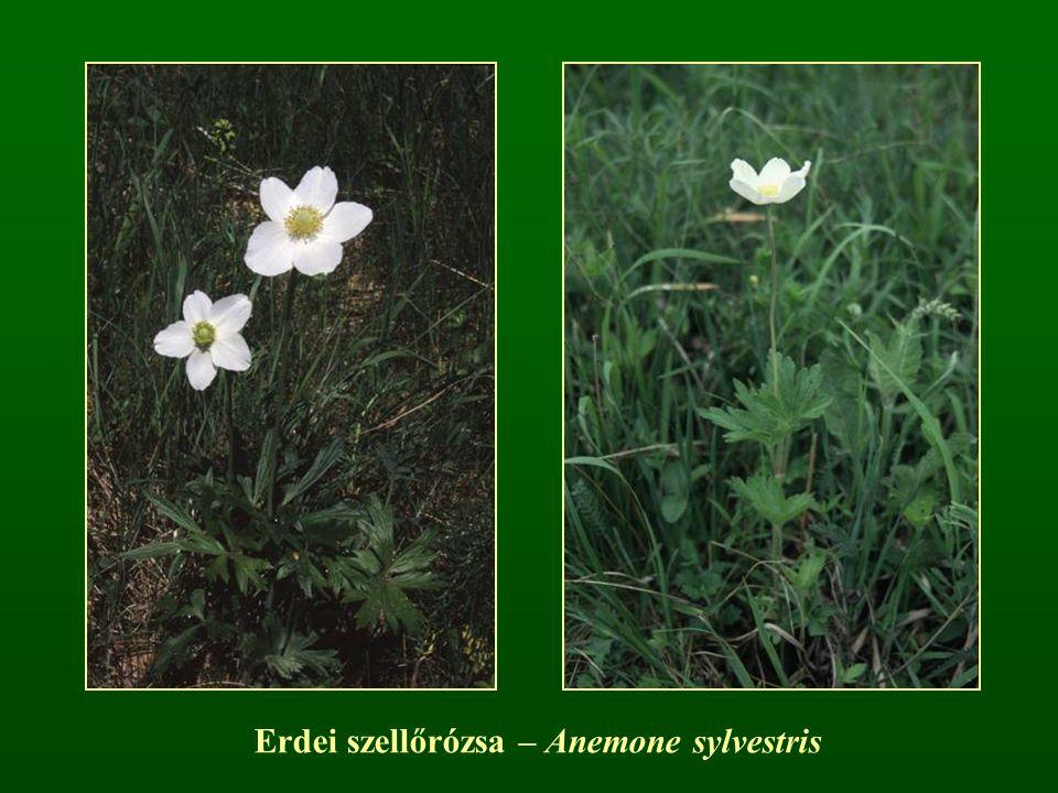 Erdei szellőrózsa – Anemone sylvestris