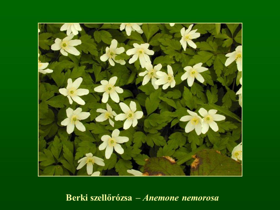 Berki szellőrózsa – Anemone nemorosa