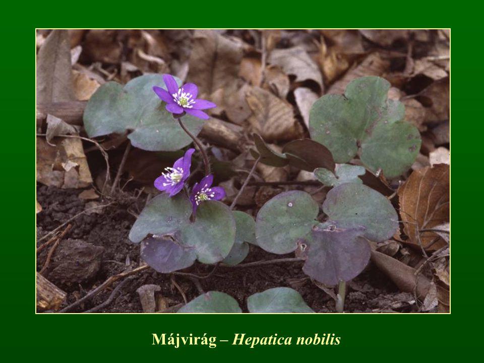 Májvirág – Hepatica nobilis
