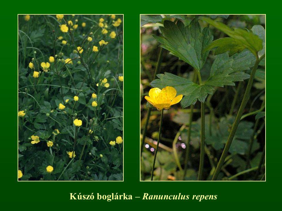 Kúszó boglárka – Ranunculus repens