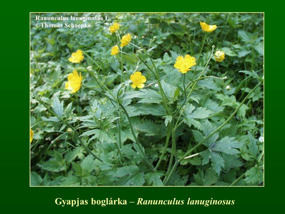Gyapjas boglárka – Ranunculus lanuginosus