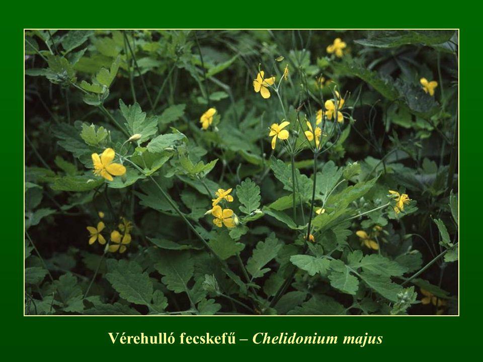 Vérehulló fecskefű – Chelidonium majus