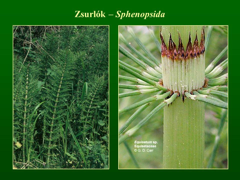 Zsurlók – Sphenopsida