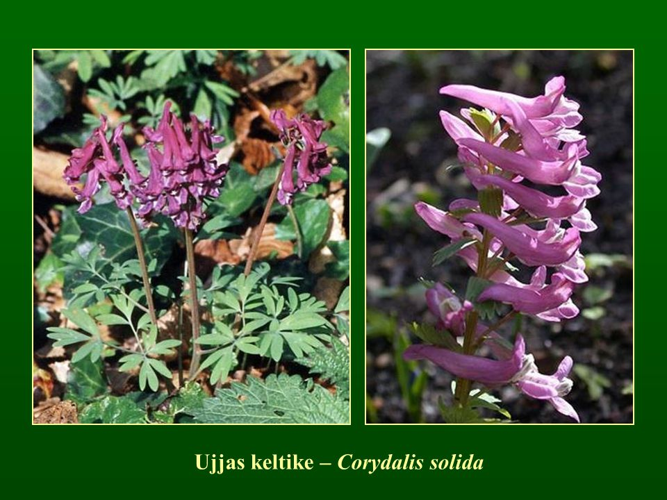 Ujjas keltike – Corydalis solida