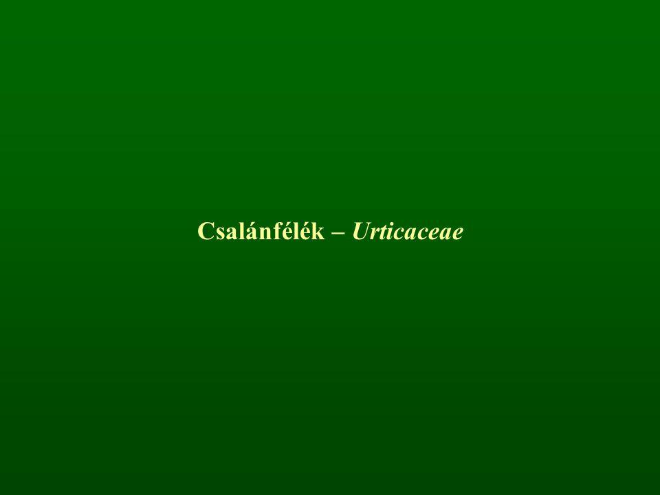 Csalánfélék – Urticaceae
