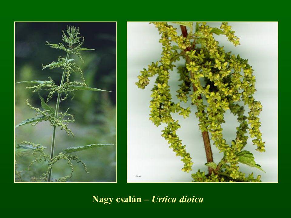 Nagy csalán – Urtica dioica