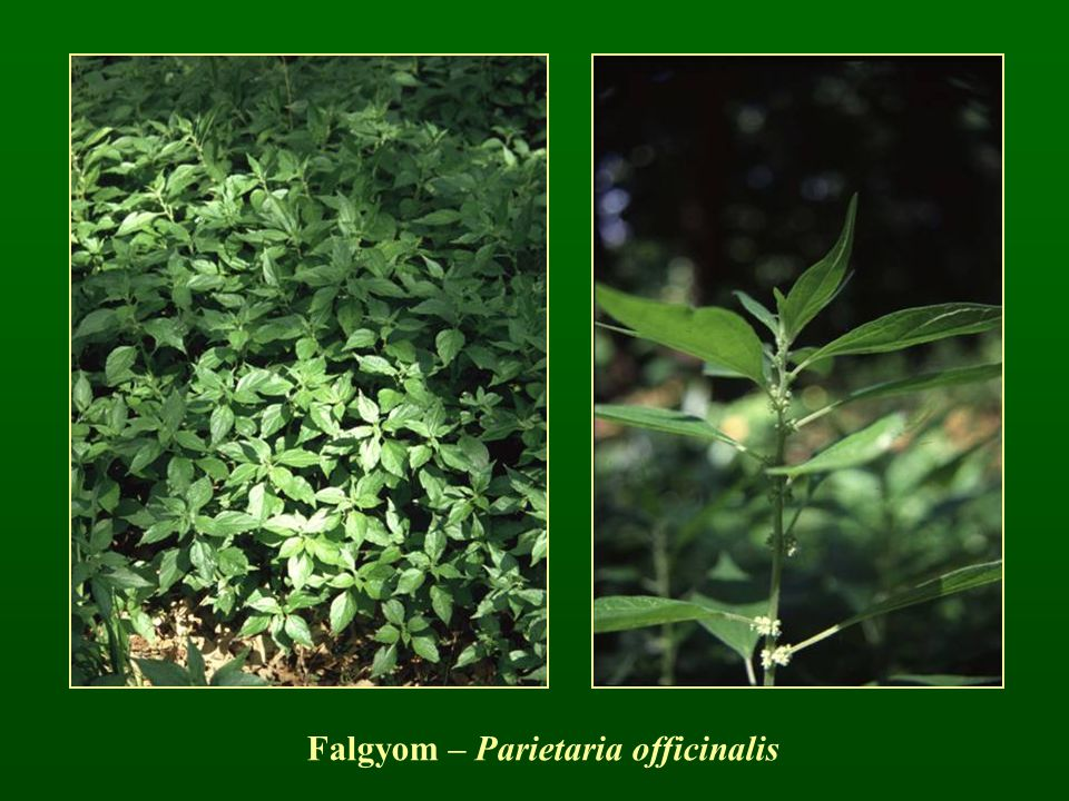 Falgyom – Parietaria officinalis