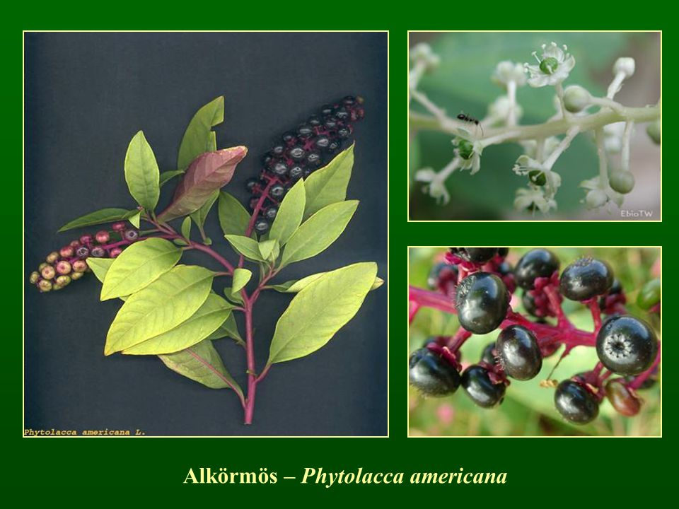 Alkörmös – Phytolacca americana