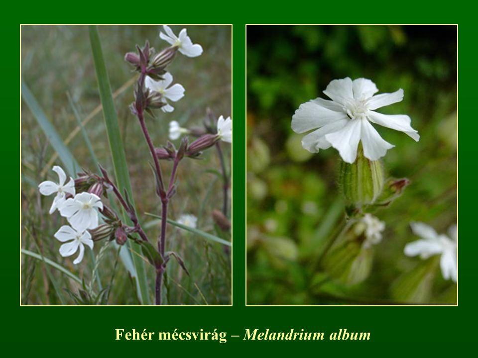 Fehér mécsvirág – Melandrium album