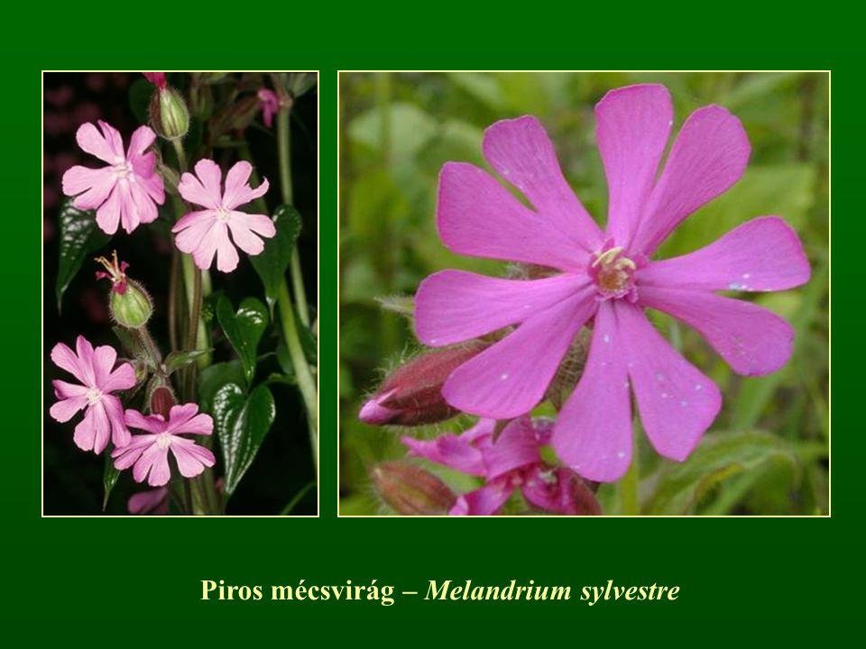 Piros mécsvirág – Melandrium sylvestre