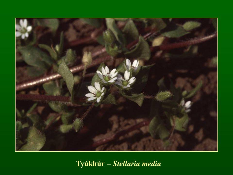 Tyúkhúr – Stellaria media