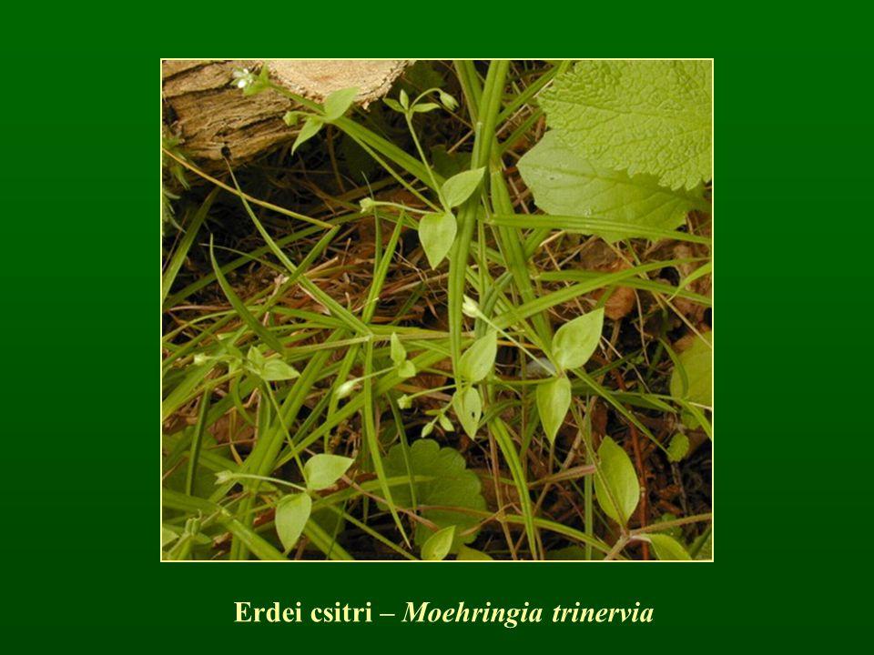 Erdei csitri – Moehringia trinervia