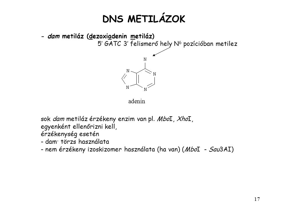 DNS METILÁZOK - dam metiláz (dezoxiadenin metiláz)