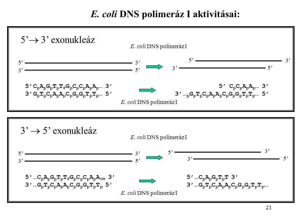 E. coli DNS polimeráz I aktivitásai: