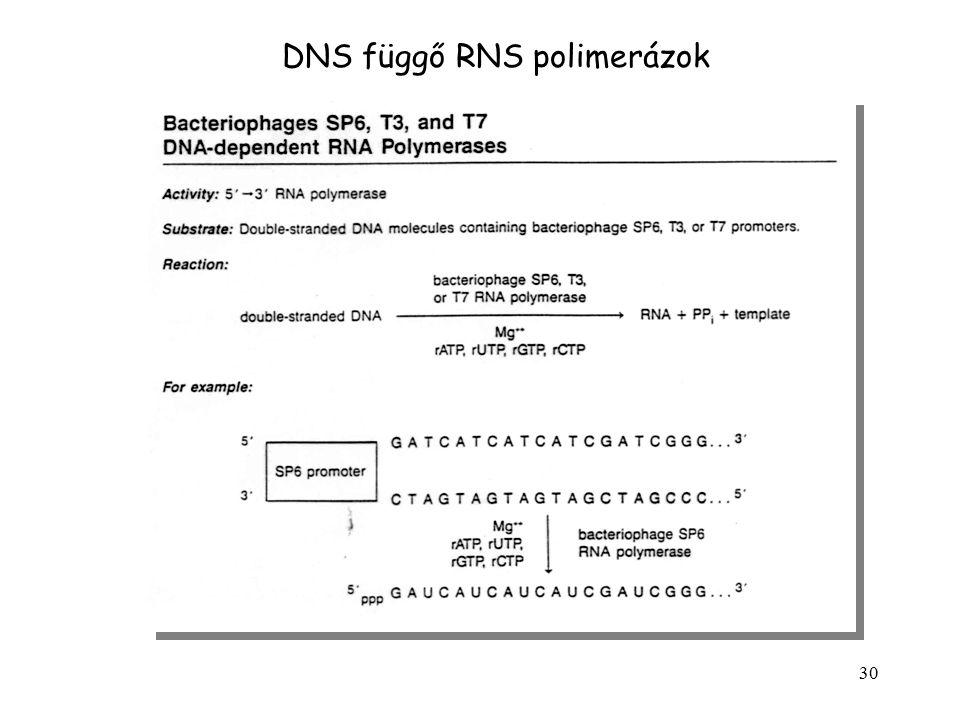 DNS függő RNS polimerázok