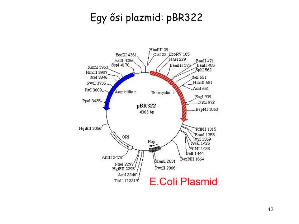 Egy ősi plazmid: pBR322