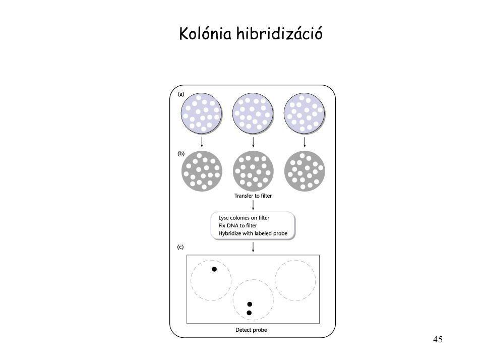 Kolónia hibridizáció