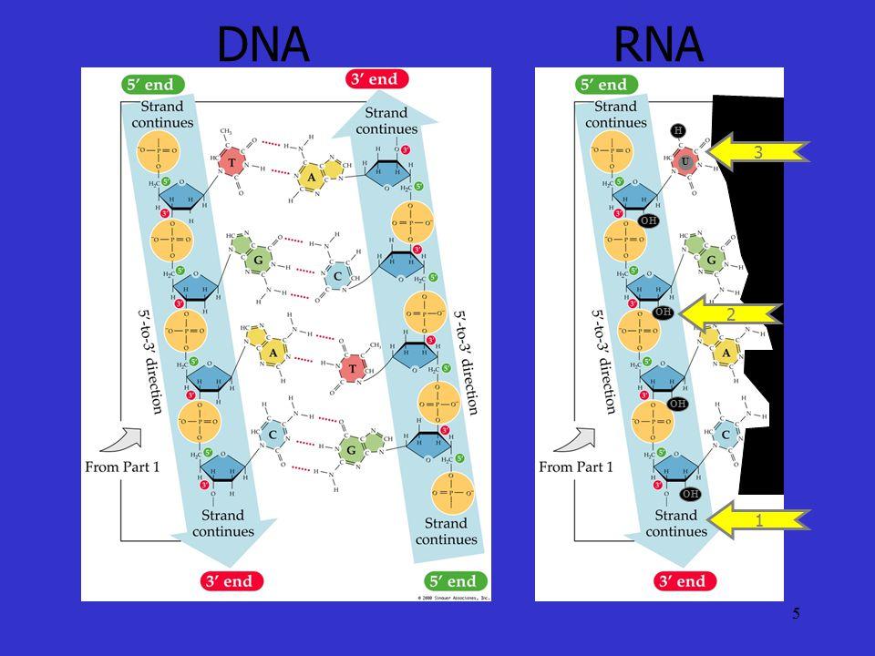 DNA RNA 1 U H 3 OH 2