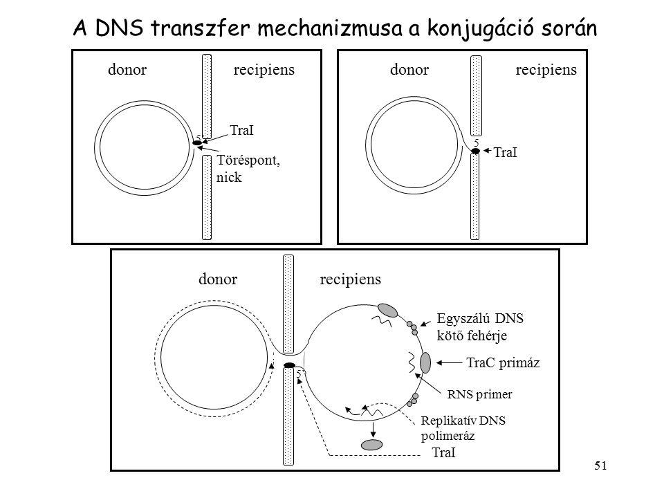 A DNS transzfer mechanizmusa a konjugáció során