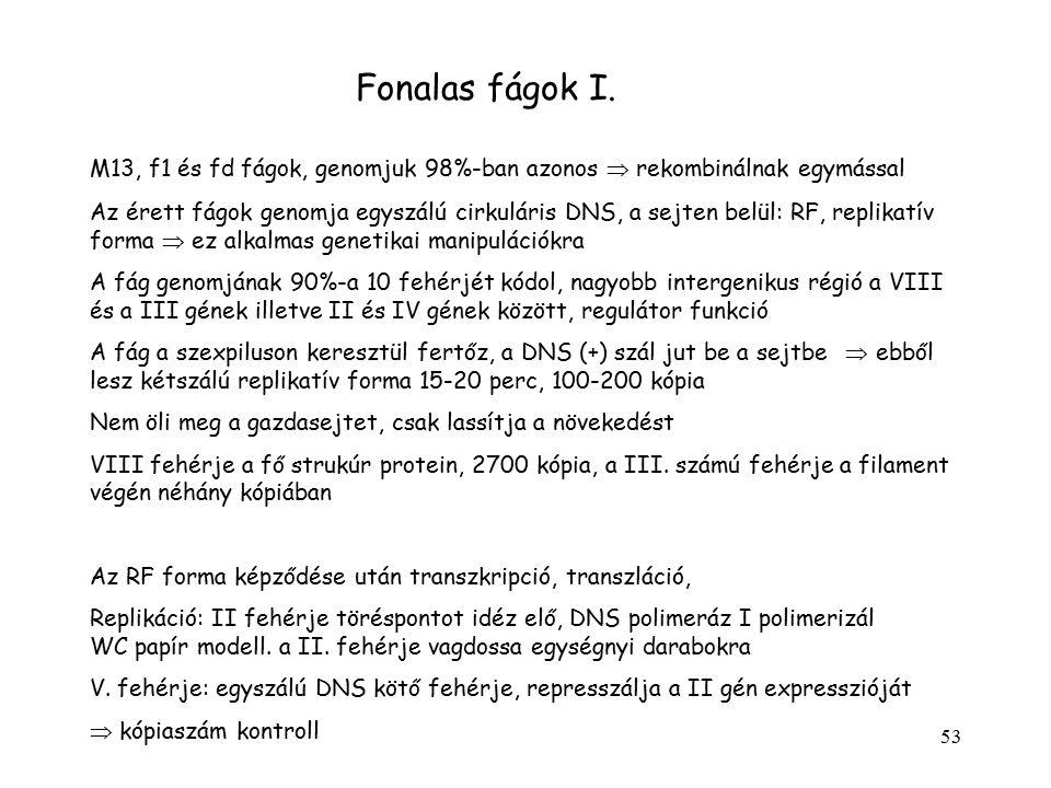 Fonalas fágok I. M13, f1 és fd fágok, genomjuk 98%-ban azonos  rekombinálnak egymással.