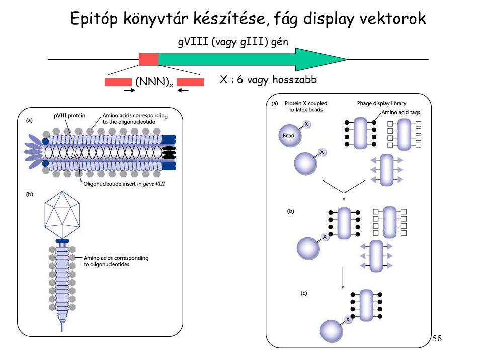 Epitóp könyvtár készítése, fág display vektorok