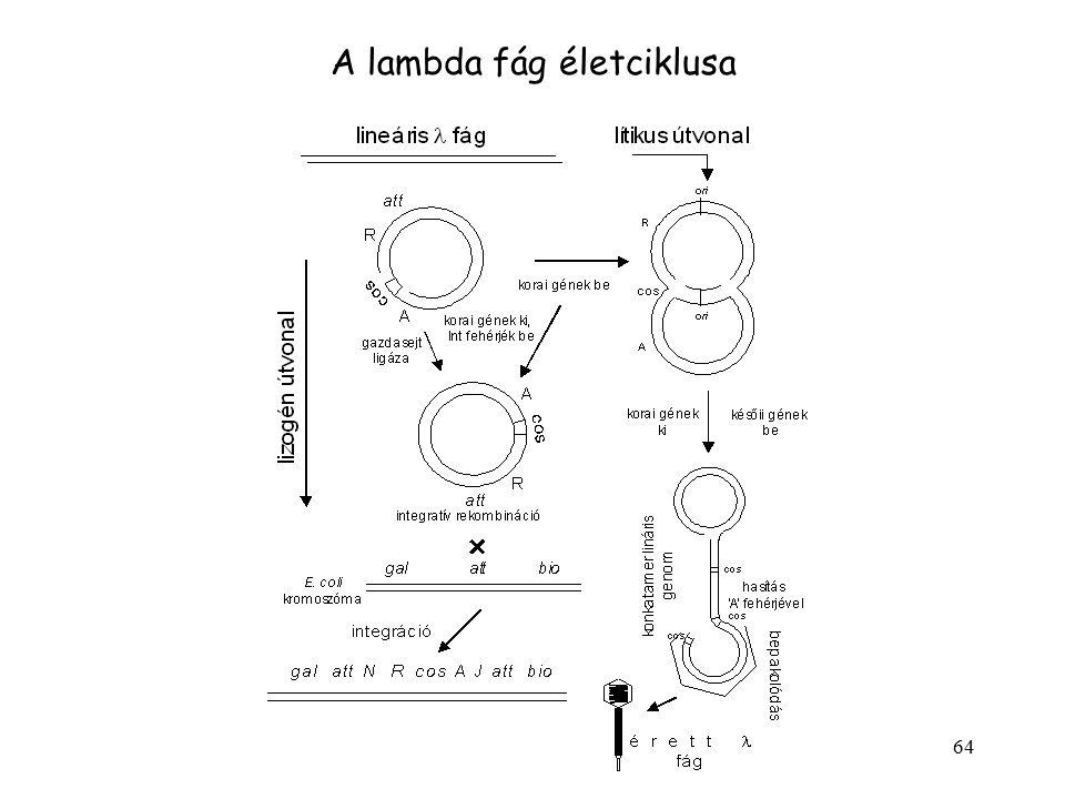 A lambda fág életciklusa