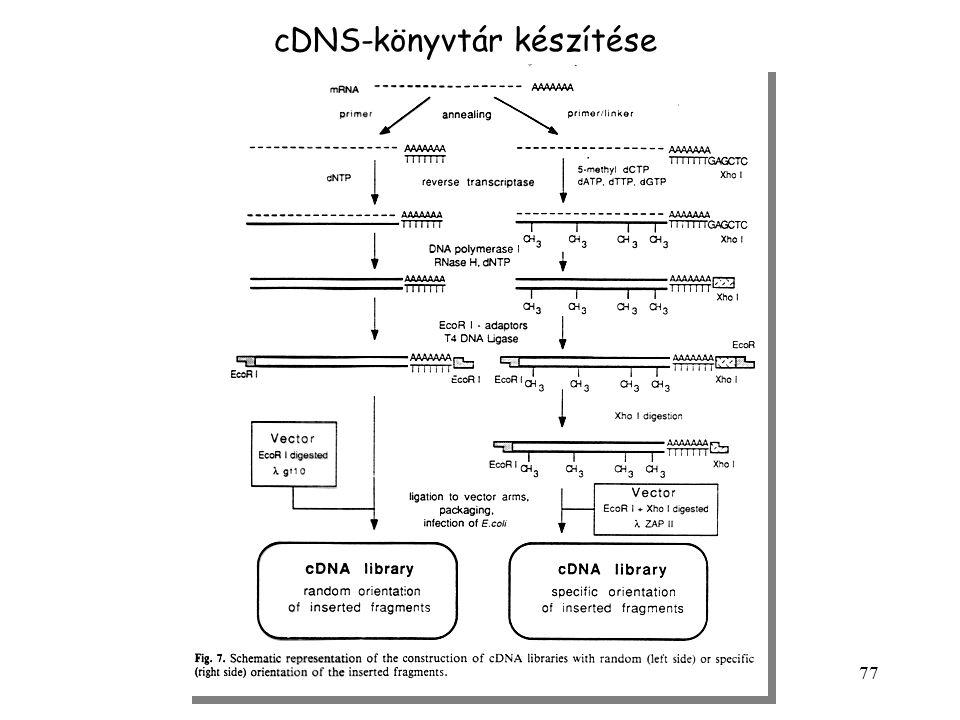 cDNS-könyvtár készítése