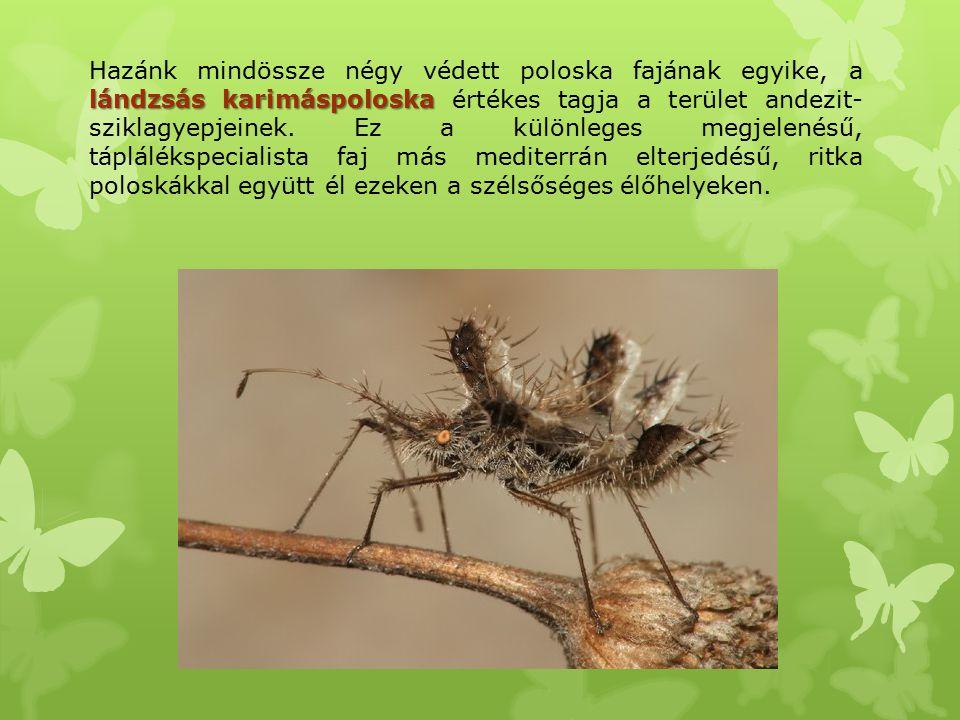 Hazánk mindössze négy védett poloska fajának egyike, a lándzsás karimáspoloska értékes tagja a terület andezit-sziklagyepjeinek.