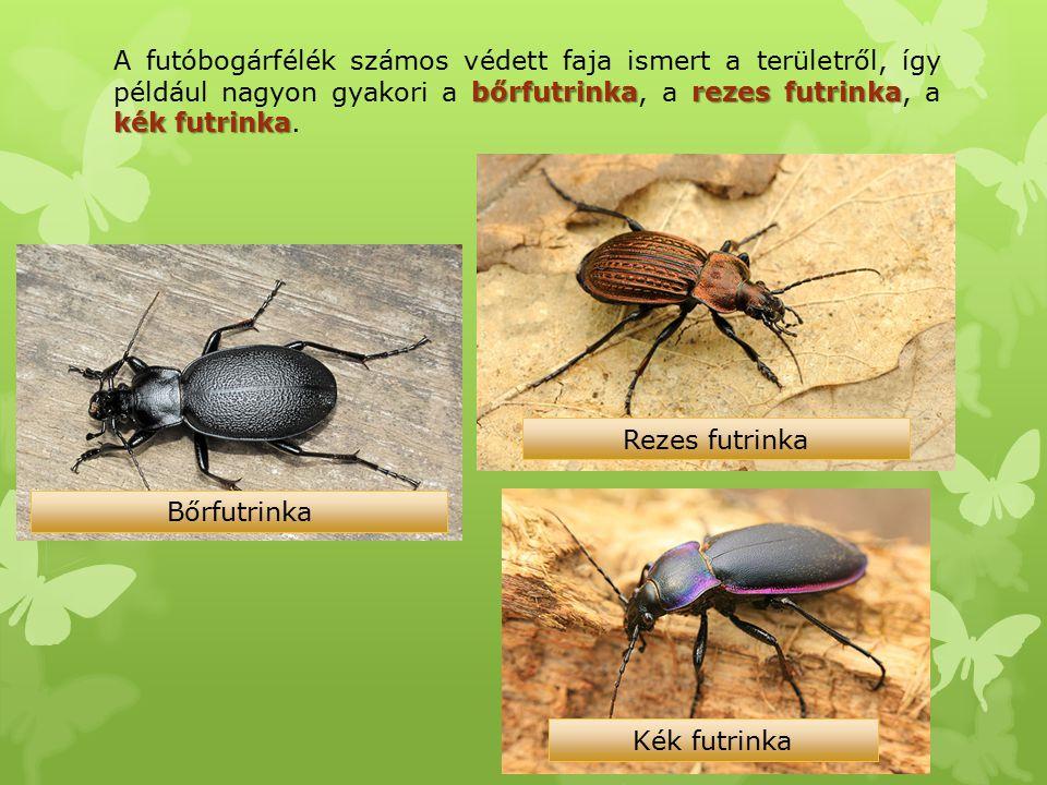 A futóbogárfélék számos védett faja ismert a területről, így például nagyon gyakori a bőrfutrinka, a rezes futrinka, a kék futrinka.